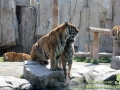 Shanghai-Taubertalperser-Animal-Tiger