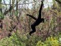 Shanghai-Taubertalperser-Gibbon
