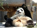 Shanghai-Taubertalperser-Panda-Plautze