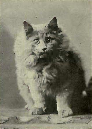 MISS F. SIMPSON'S BONNIE BOY (Photo: Gunn & Stuart, Richmond)
