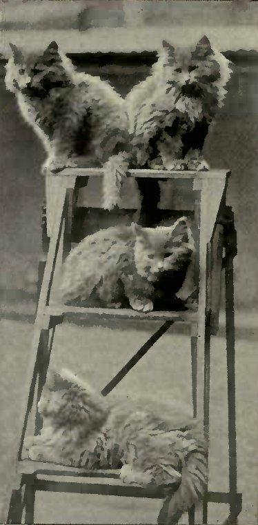 BLUE PERSIAN KITTENS (Photo: Mrs. S. F. Clarke.)