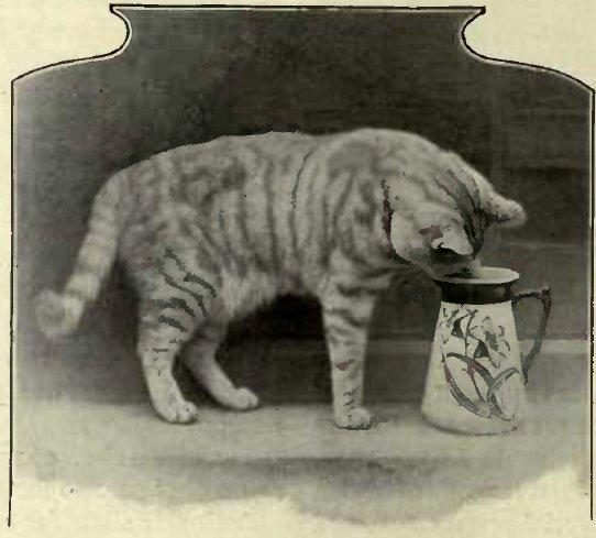 SANDY STEALING THE MILK - THE PROPERTY OF Miss HARPER. (Photo: B. Tugwcll, Haywards Heatlt.)