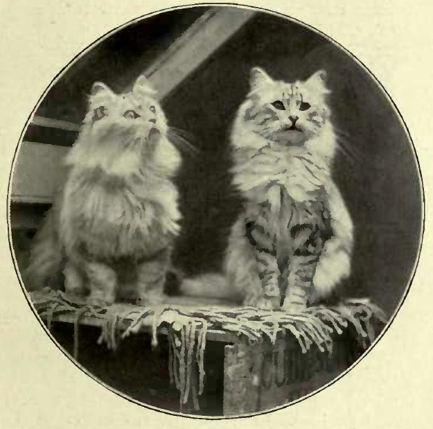 SILVER CATS BELONGING TO MRS. CLARK, OF ASHBRITTLE.
