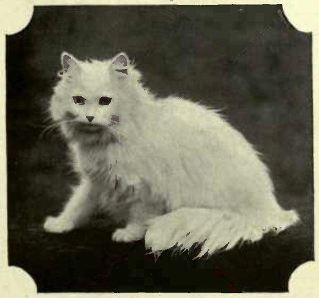 "MRS. MCLAREN'S WHITE PERSIAN "" LADYSMITH."" (.Photo: C. Reid Wishaw.)"