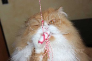 Katzenangel shrimp