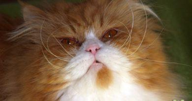 Taubertalperser, Katzenzucht