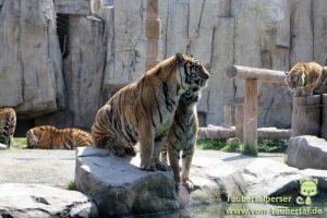 Shanghai Taubertalperser Wild Animal Park Tiger