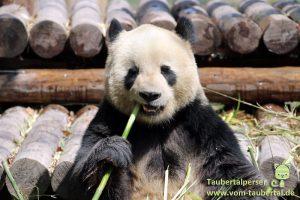 Shanghai Taubertalperser Panda China