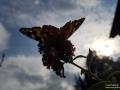 Schmetterling_Gegenlicht
