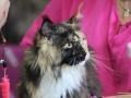 Katze-Norweger