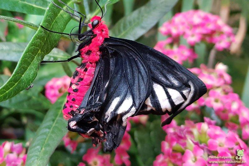 Atrophaneura semperi oder auch die Königin unter den Schmetterlingen