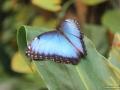 Blauer Morphofalter (Morpho peleides)