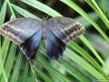 Caligo eurilochus / Eule