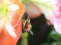Frisch geschlüpfter Schmetterling beim entfalten seiner Flügel