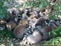 Shanghai-Taubertalperser-Lemurengemenge