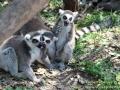 Shanghai-Taubertalperser-Lemurenhumor