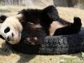 Shanghai-Taubertalperser-Panda-doof