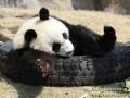 Shanghai-Taubertalperser-Panda-wait-for-me