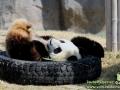 Shanghai-Taubertalperser-Pandas-01