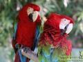 Shanghai-Taubertalperser-Papageien