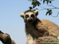 Shanghai-Wild-Animal-Park-Lemuren