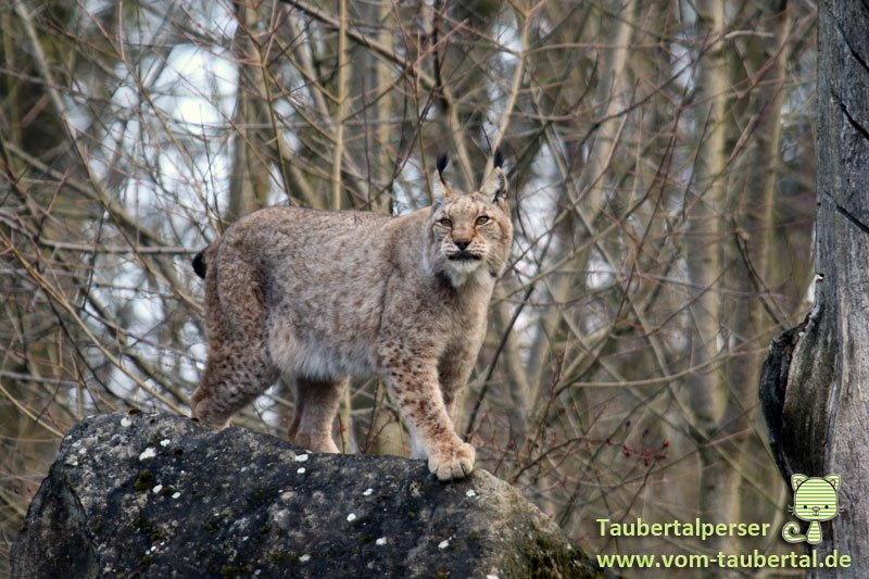 Wildpark-Bad-Mergentheim-Taubertalperser-31
