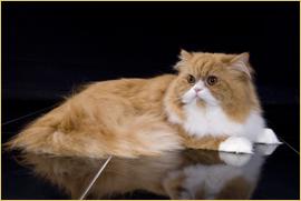 Rekorde Aus Der Welt Der Katzen Die Taubertalperser Perser Vom