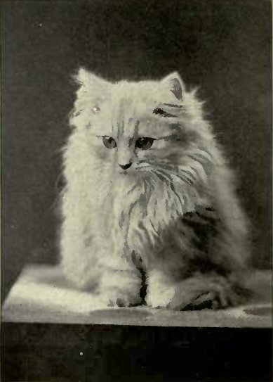 "KITTEN BELONGING TO MRS. E. S. OWEN, DETROIT, MICHIGAN. BY ""KlNG OF THE SILVERS"" — ""BLESSED DAMOZEL."" (Pflota: Albany Art Union, New York.)"