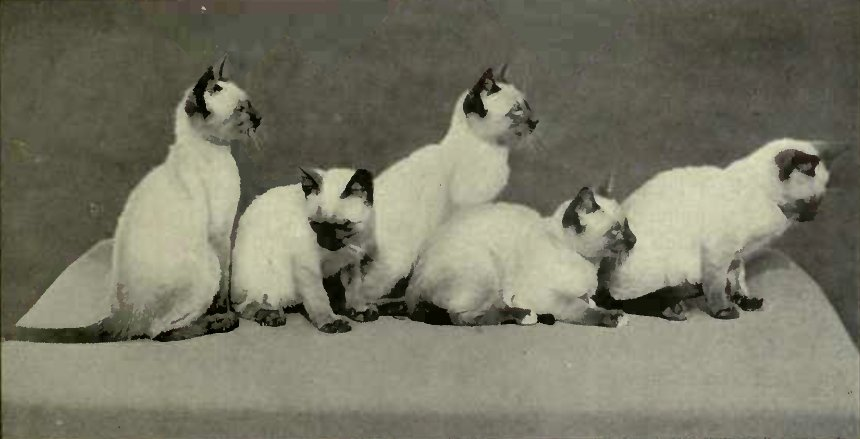 LITTER OF SIAMESE KITTENS - BELONGING TO LADY MARCUS BERESFORD (Photo.: T. Fall, Baker St., W.)