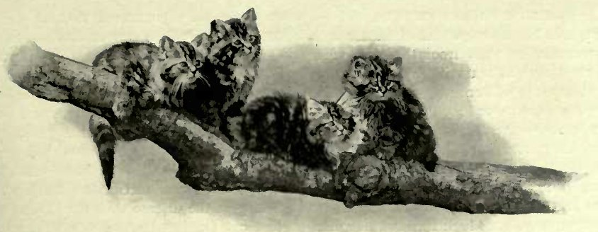 TABBIES UP A TREE Photo: C. Reitt, Wishaia