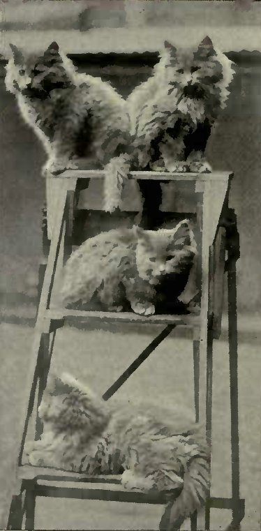 BLUE PERSIAN KITTENS (Photo: Mrs. S. F. Clarke.)