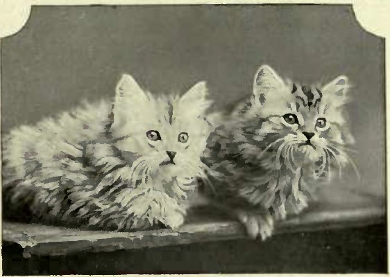 TWO KITTEN BRED BY MISS WILLIAMS. (I'lwto : H. Jenkins, Lowestoft.)