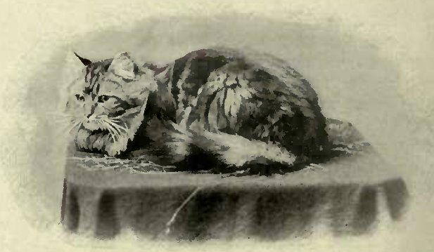 "MRS. DRURY'S BROWX TABBY, "" PERIWIG."" (Photo : Kerby & Son, Ipswich.)"