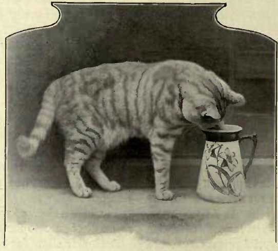SANDY STEALING THE MILK - THE PROPERTY OF Miss HARPER. (Photo: B. Tugwcll, Haywards Heatlt.)