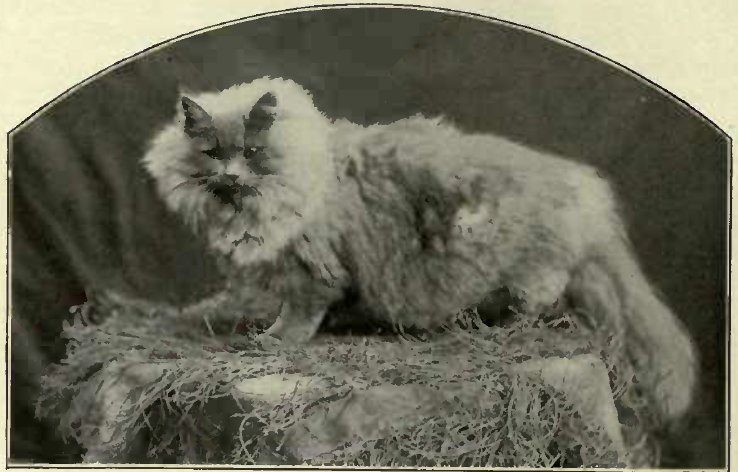 A BLUE PERSIAN BELONGING TO MRS. WELLS. (Photo: Ward, Hounslow.)