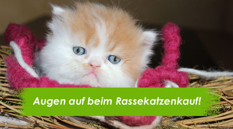 Rassekatze, FAQ Rassekatzenkauf, Katzenkauf, Rasse, Taubertalperser, Katzenblog