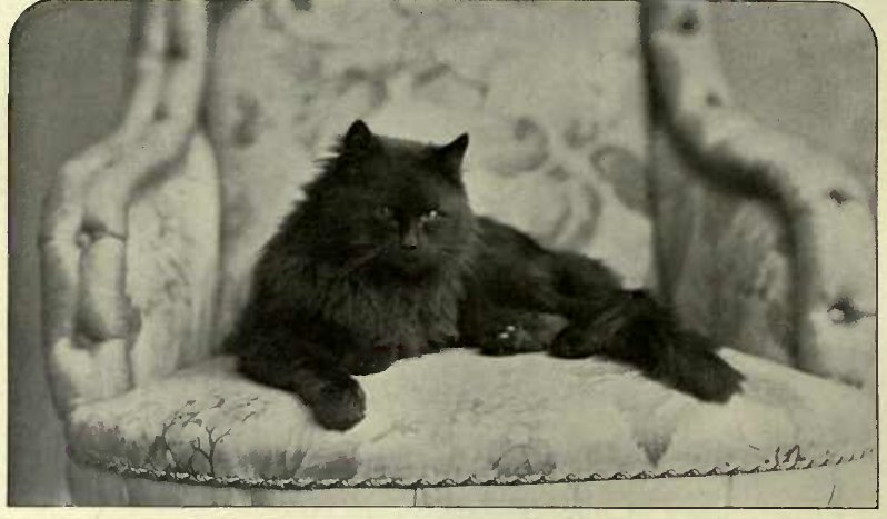 "BLACK PERSIAN ""JOHNNIE PASTE"", OWNED BY DR. ROPER. (Photo: Lavender, Bromley.)"