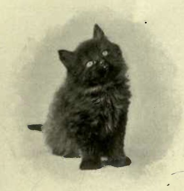 KITTEN BRED BY MISS KIRKPATKICK. (Photo : K. Landor, Baling.)
