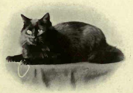 """MRS. LITTLE'S BLACK PERSIAN """" COLLEEN."""" (Photo: D. Nottle, Beckenham.)"""