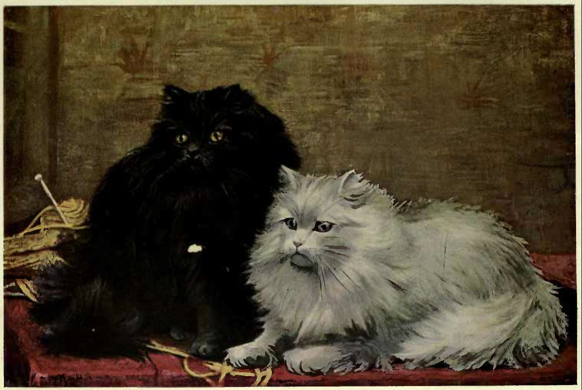 BLACK AND WHTE PERSIAN CAT