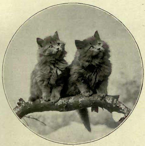 BLUE KITTENS BRED BY MISS KIRKPATRICK. (Photo: E. Landor, Ealing.)