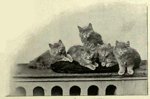 MRS. ROBINSON´S BLUE KITTENS. (Photo: J. Joyner, Cheltenham.)