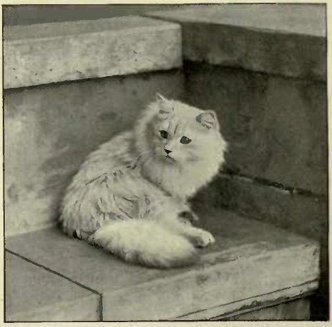 """"""" STAR DUVALS."""" SILVER PERSIAN OWNED AND BRED BY Miss MEESON. (Photo: F. Parsons, Southend-on-Sea.)"""