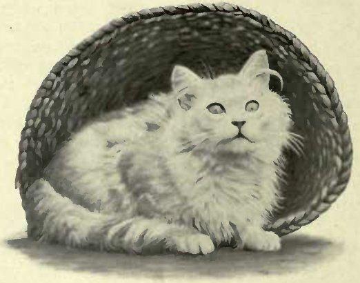 """WILD TOM"" SILVER, BRED BY MRS. G. H. WALKER (Photo: Mrs. G. H. WALKER)"