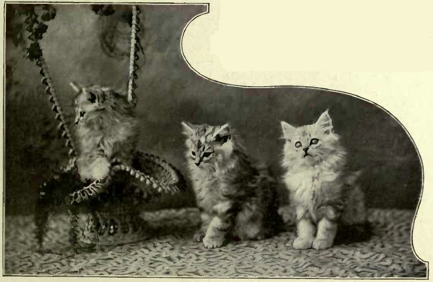 SILVER TABBY KITTENS OWNED BY H.H. THE PRINCESS VICTORIA OF SCHLESWIG-HOLSTEIN. (Photo : E. Landor, Baling.)