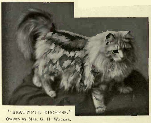 """BEAUTIFUL DUCHESS."" OWNED BY MRS. G. H. WALKER."