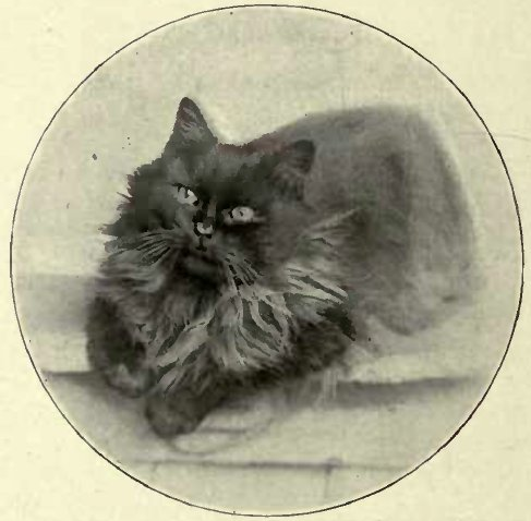 "MRS. A. M. STEAD'S SMOKE PERSIAN ""CH. RANJI."" (Photo: E. N. Collins, S. Norwood.)"