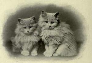 MRS. D´ARCY HILDYARD´S CREAM KITTENS. (Photo: E. Yeoman, Barnard Castle.)