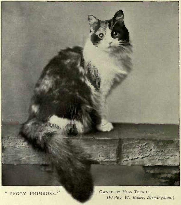 """PEGGY PRIMROSE."" OWNED BY MISS TERRILL. (Photo: W. Baker, Birmingham)"