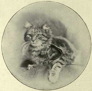 "MISS MELLOR´S BROWN TABBY ""LADY SHOLTO"" (Photo: N. N. Statham, Matlock Bridge.)"